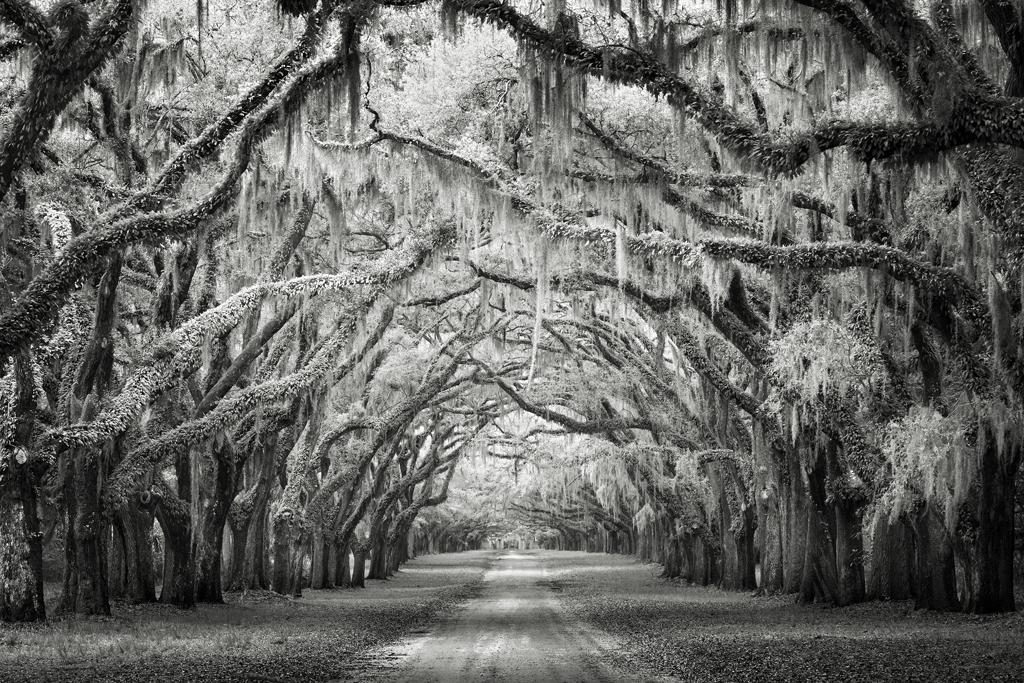Joseph Romeo - Wormsloe Canopy. Nature: Trees - 3rd Place, Bronze Star Award.