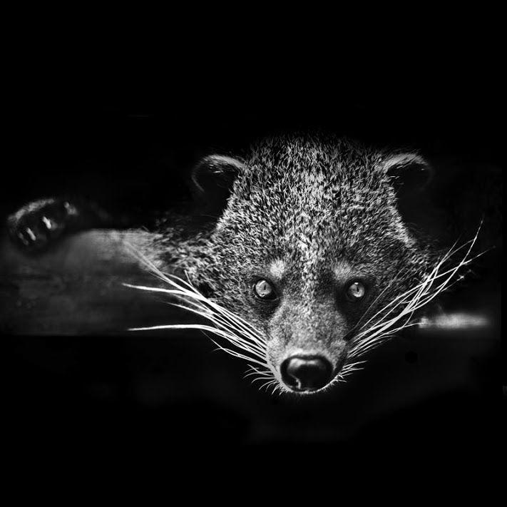 © Bill Allen Binturong