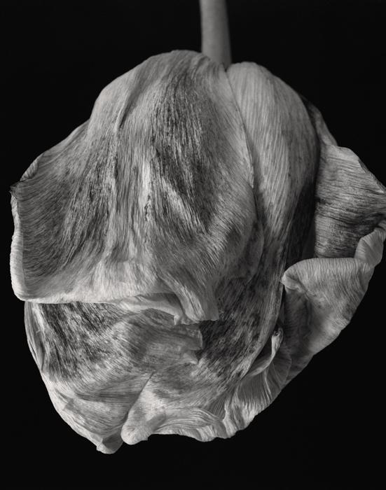 © Dominique Bollinger Flowers - tulipe - 2008