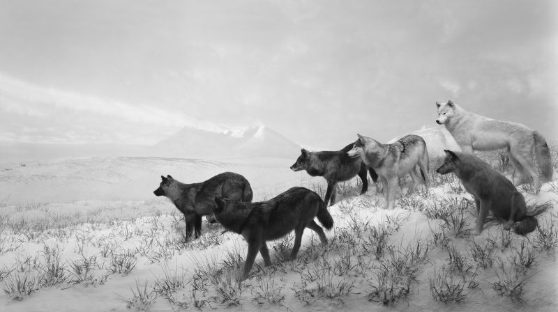 Hiroshi-Sugimoto-Pace-Alaskan_Wolves_1994