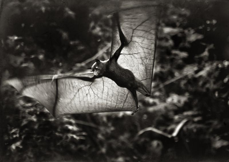 Flying Fox © Marianne Siff Kusk – 3rd place Winner in Wildlife, Amateur