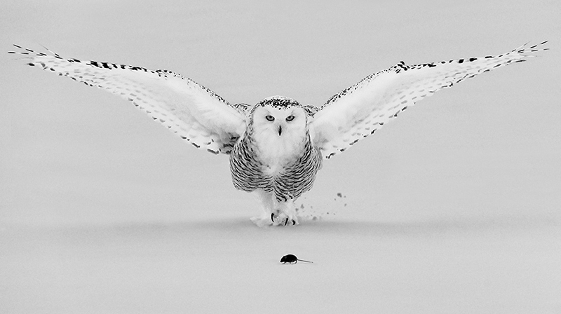 Snowy Owl Hunting © Terry Turrentine – 3rd place Winner in Wildlife, Professional
