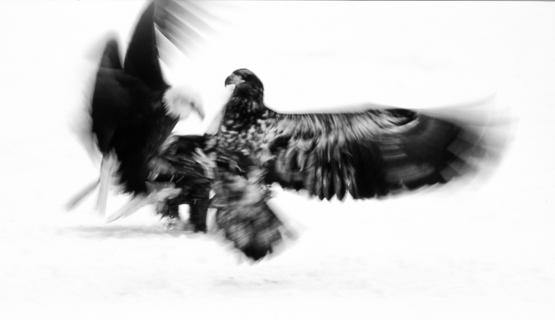Bald Eagles Disputing Ownership of a Salmon Carcass © Timothy Floyd – Honorable Mention in Wildlife, Amateur