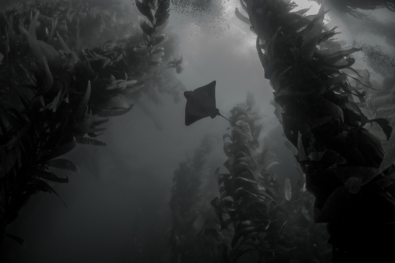 Bat Ray Dream © Elizabeth Sullivan – Honorable Mention in Wildlife, Amateur