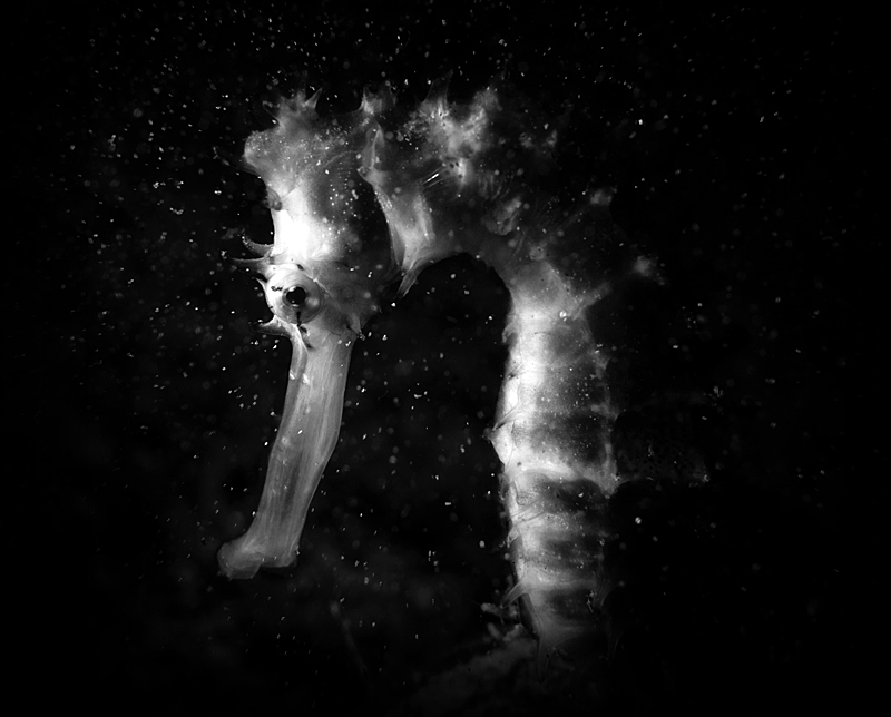 Seahorse © Shai Oron– Honorable Mention in Wildlife, Amateur