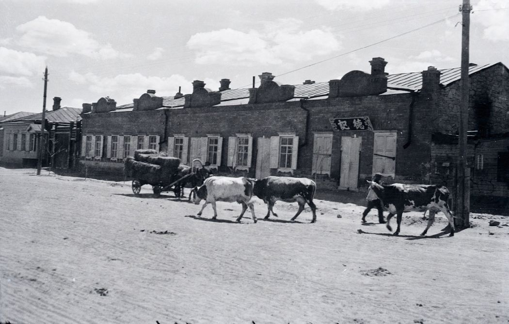 Manchuria-Northeast-Asia-in-1930s-Cattle on the Road