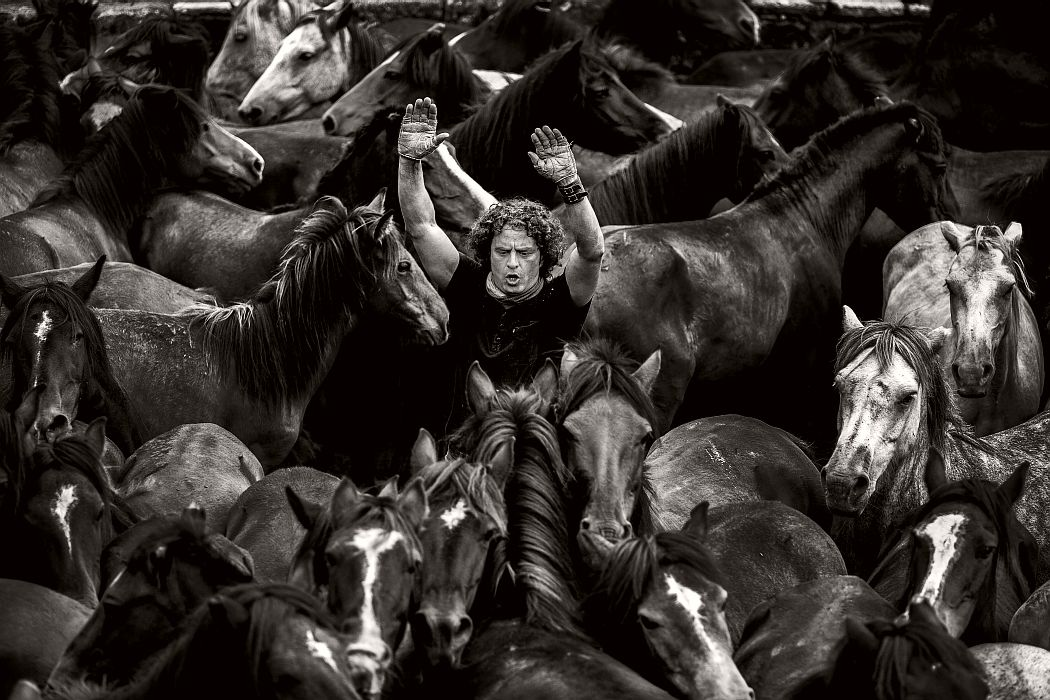 Rapa das Bestas, Sabucedo, Galicia (Spain). A Aloitador Michael Touriño frightens the horses within the gigs to prevent further fighting. The amount of hacks that populate the gigs makes many of them fight kicking and biting.