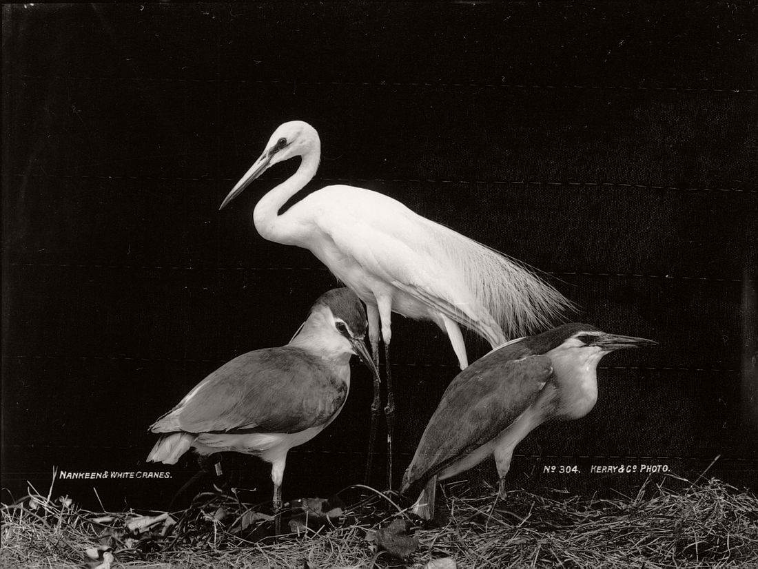 vintage-glass-plate-collodion-portraits-of-animals-and-birds-from-australia-12