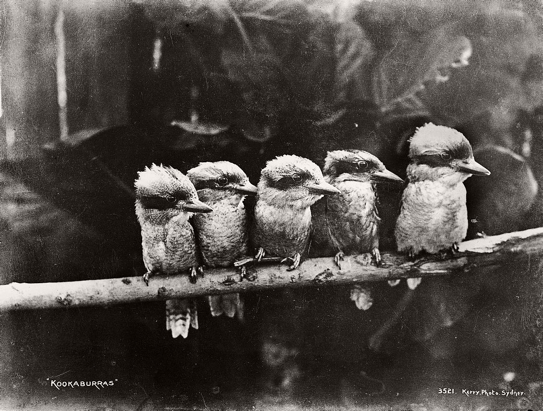 vintage-glass-plate-collodion-portraits-of-animals-and-birds-from-australia-13