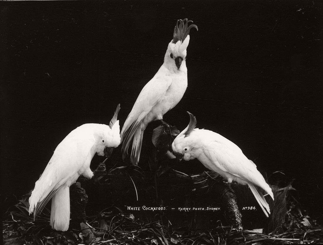 vintage-glass-plate-collodion-portraits-of-animals-and-birds-from-australia-14