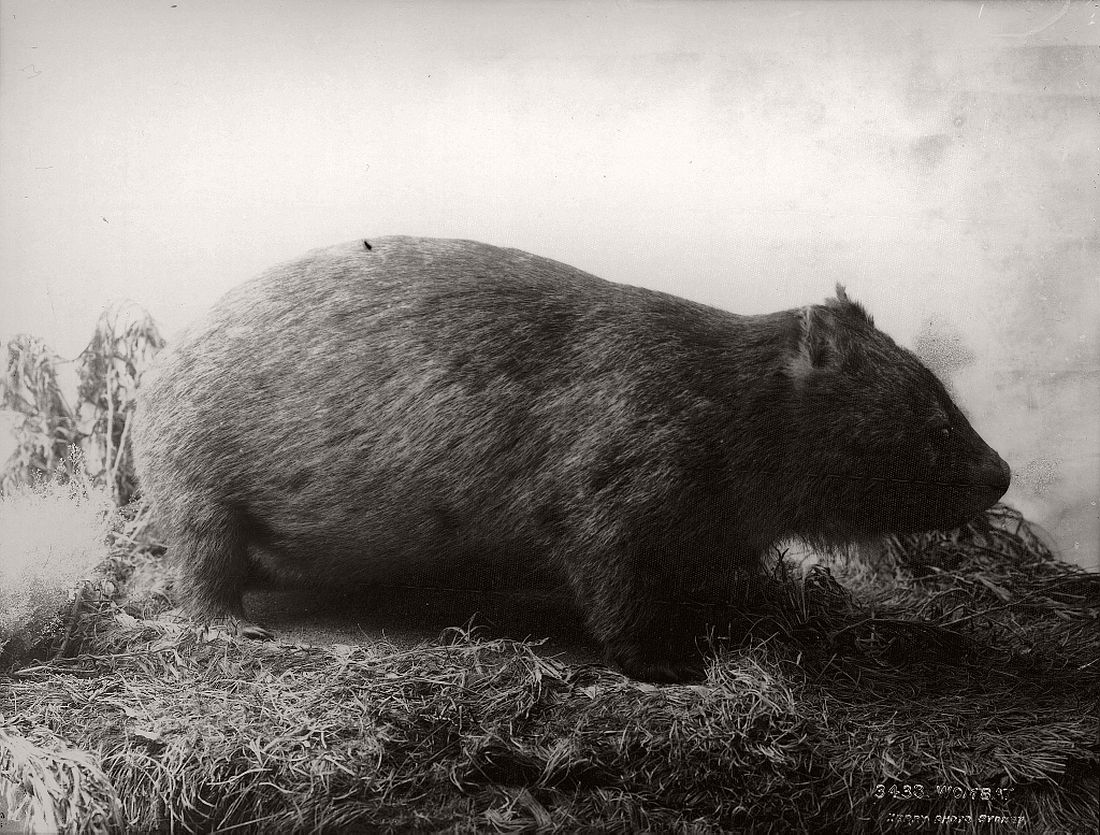 vintage-glass-plate-collodion-portraits-of-animals-and-birds-from-australia-15