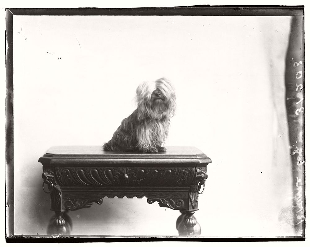 vintage-glass-wet-plate-collodion-portraits-of-pets-1910s-05