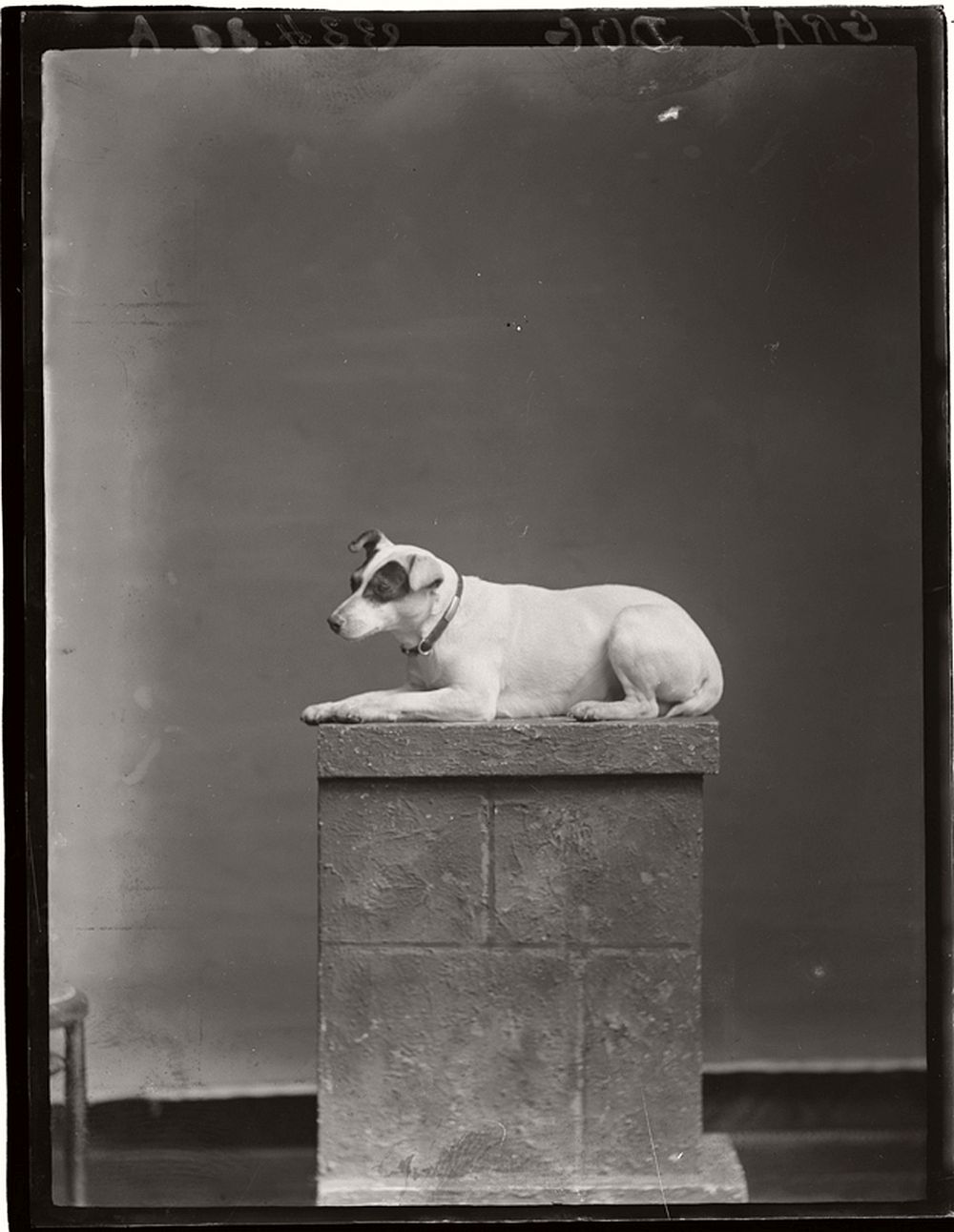 vintage-glass-wet-plate-collodion-portraits-of-pets-1910s-12