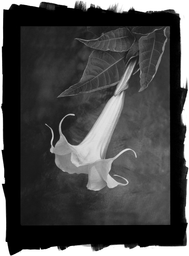 Angel Trumpet (Brugmansia) by Cy DeCosse