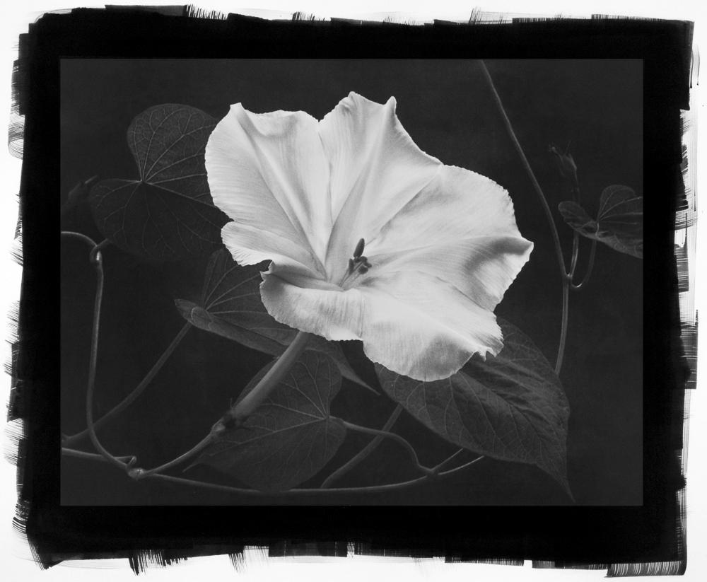 Moonflower by Cy DeCosse