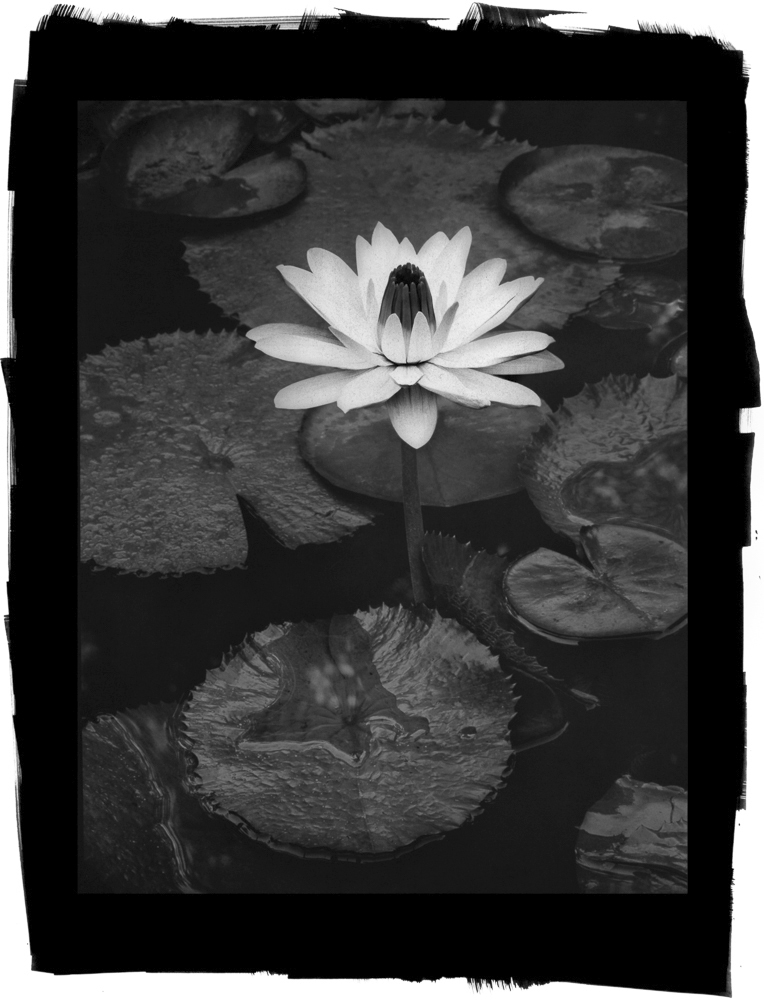 Water Lily by Cy DeCosse