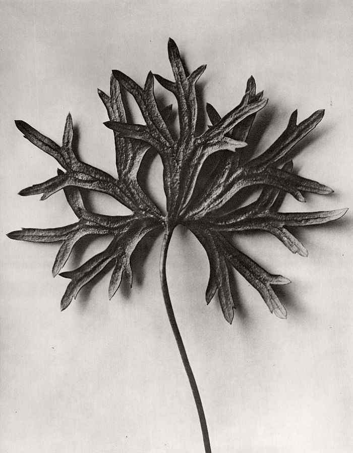 karl-blossfeldt-bw-fine-art-botanical-photographer-02