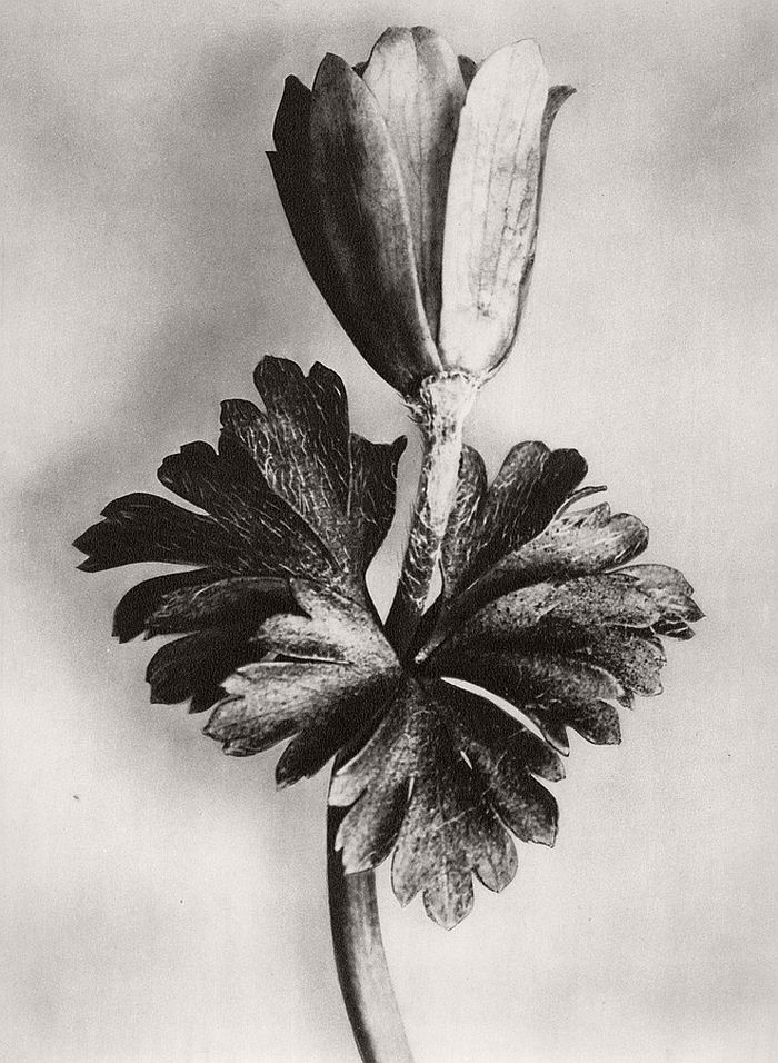 karl-blossfeldt-bw-fine-art-botanical-photographer-03