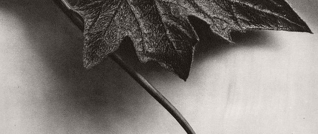 Biography: Fine Art / Botanical photographer Karl Blossfeldt