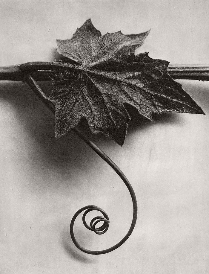 karl-blossfeldt-bw-fine-art-botanical-photographer-05