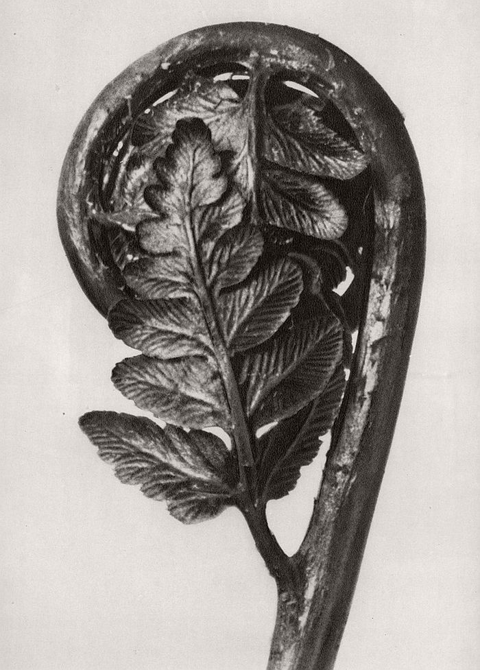 karl-blossfeldt-bw-fine-art-botanical-photographer-08