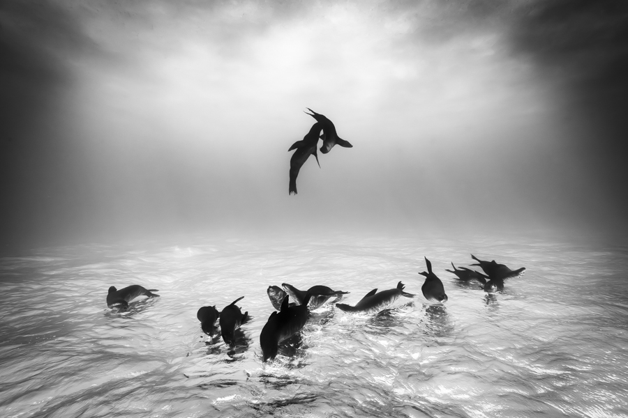 1st Place Winner - Wildlife Photographer of the Year 2015 Sea Lions at Espiritu Santo by Christian Vizl