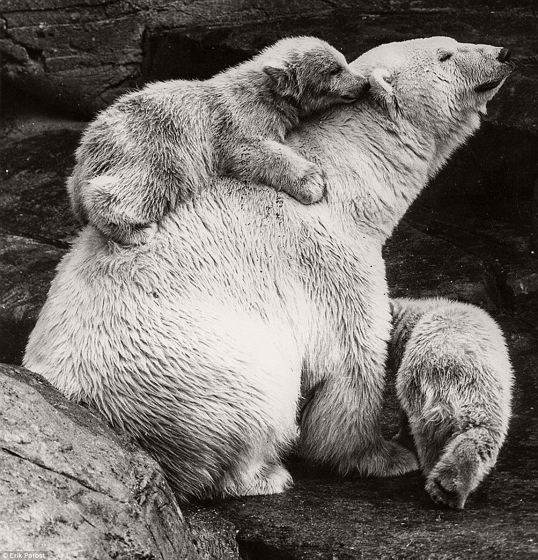 Two baby polar bears with their mother in 1859