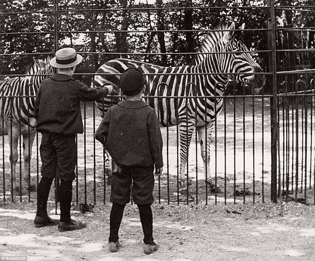 Two boys watching zebras