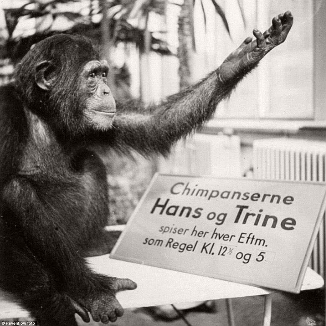 A chimpanzee waving at tourists next to a board with her details
