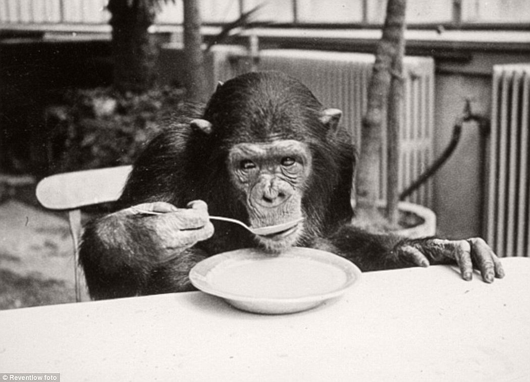 A chimpanzee drink milk just like human