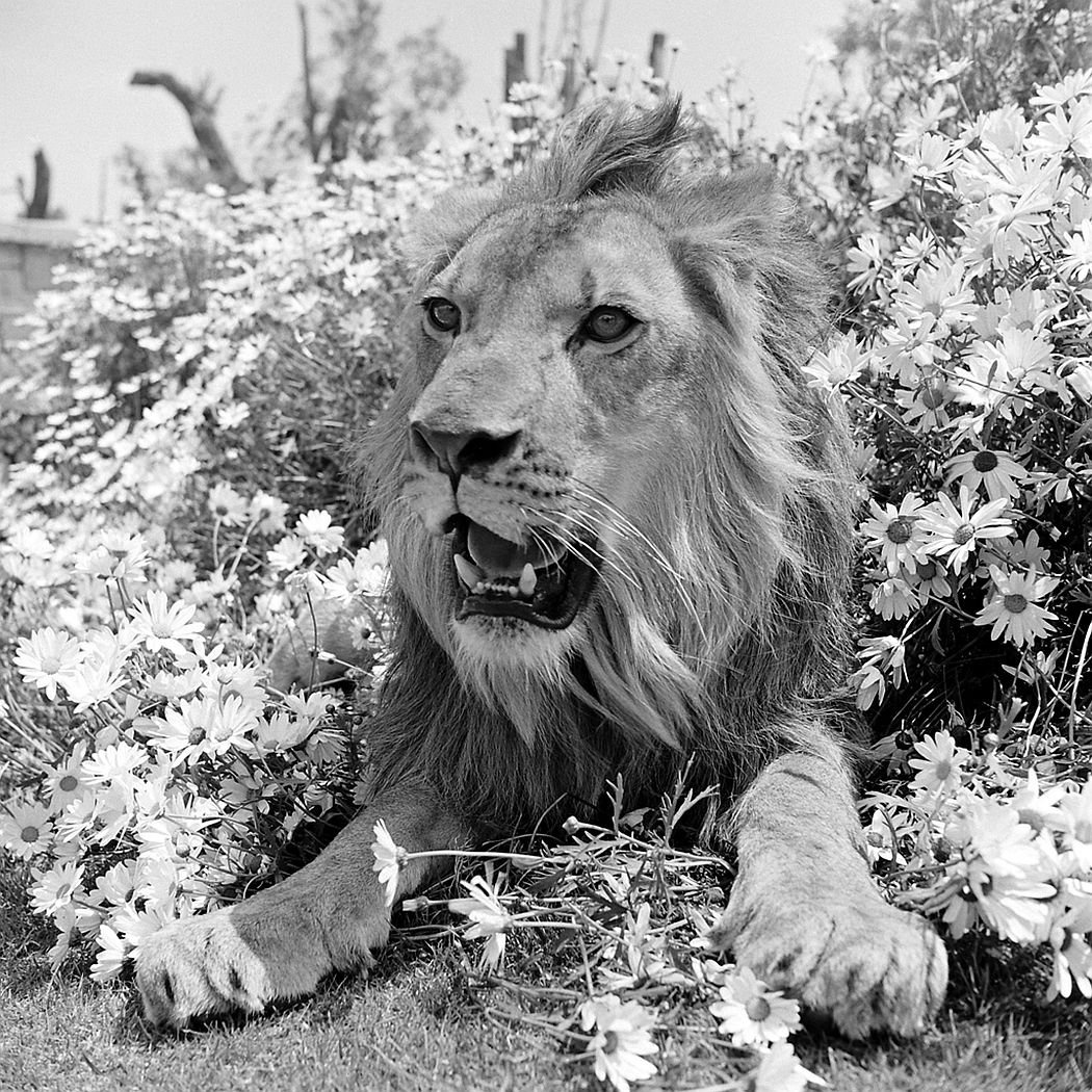 Fagan the lion on an MGM set, 1951.