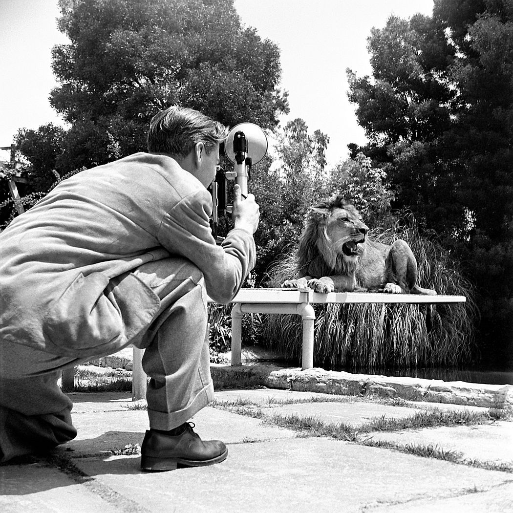 A photographer shoots publicity photos of Fagan the lion, 1951.
