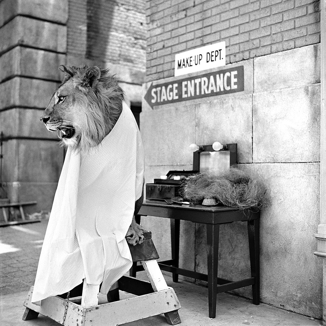 Fagan the lion, ready for his makeup, 1951.