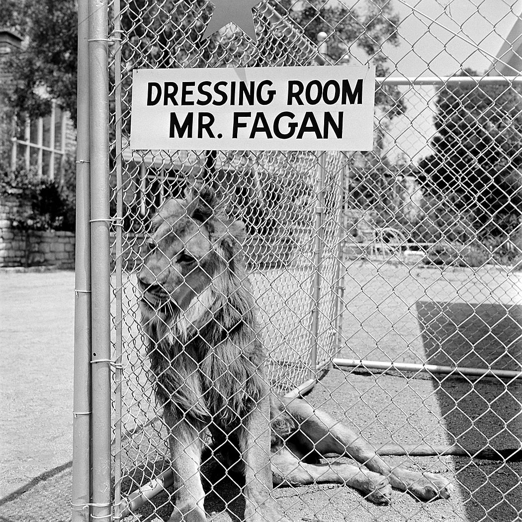 "Fagan the lion in his ""dressing room"" in 1951."