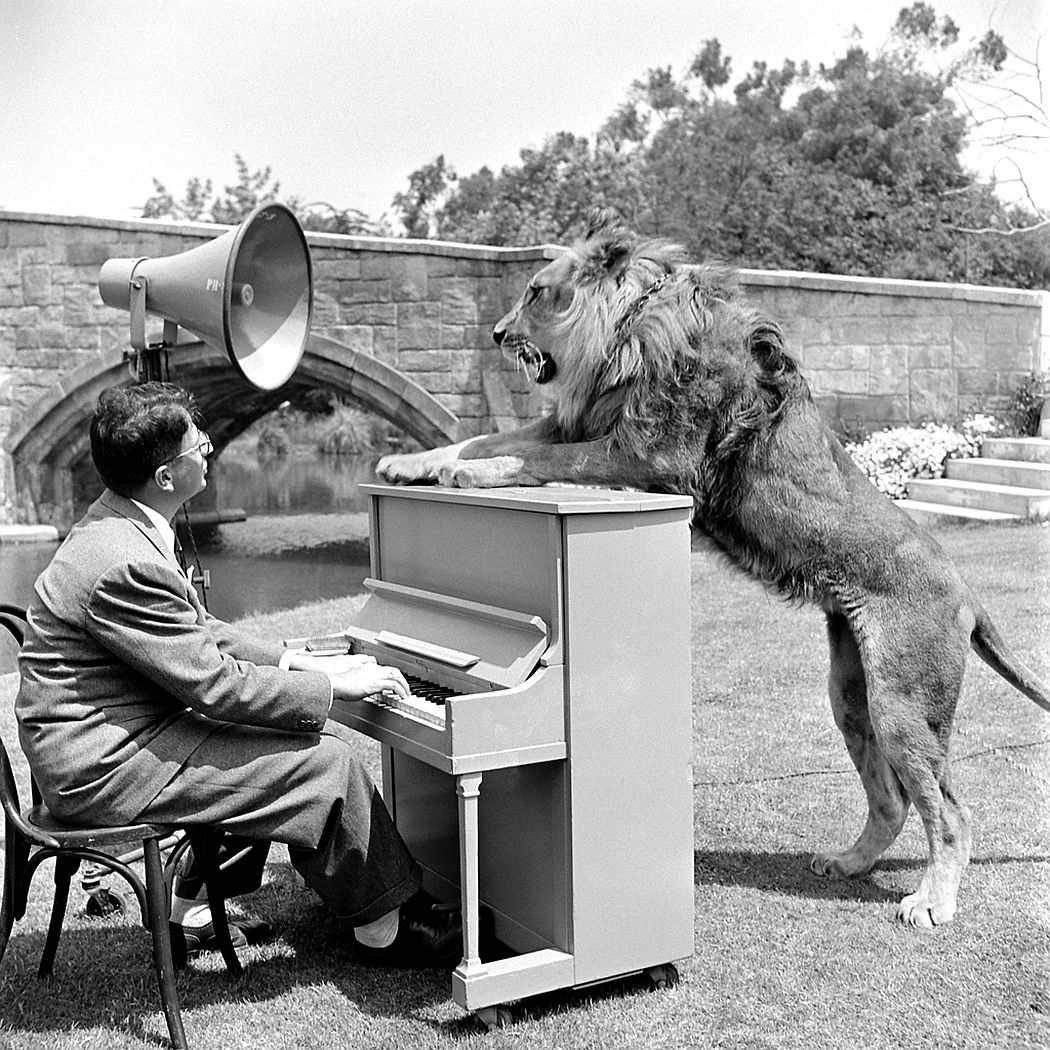 Owner Floyd Humeston leads Fagan the lion to the camera department for a posing test, 1951.