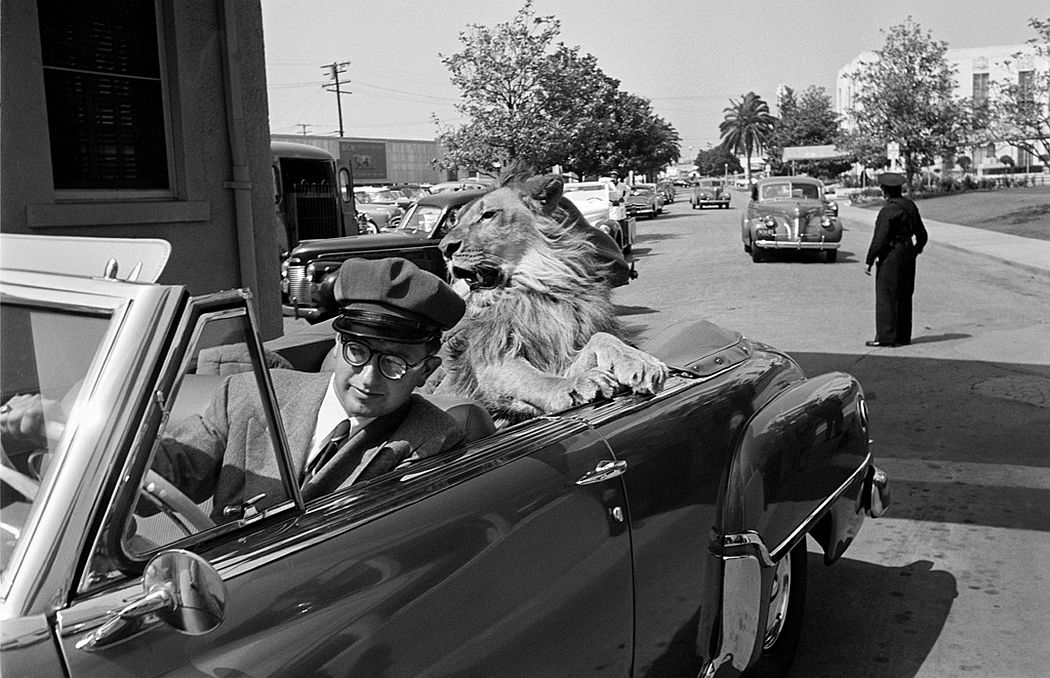 Fagan the lion on the MGM lot, 1951.