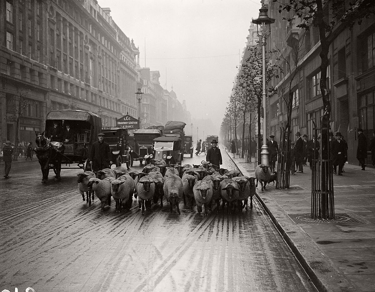 1926  A flock of sheep head down the Kingsway in London.  Image: Fox Photos/Getty Images