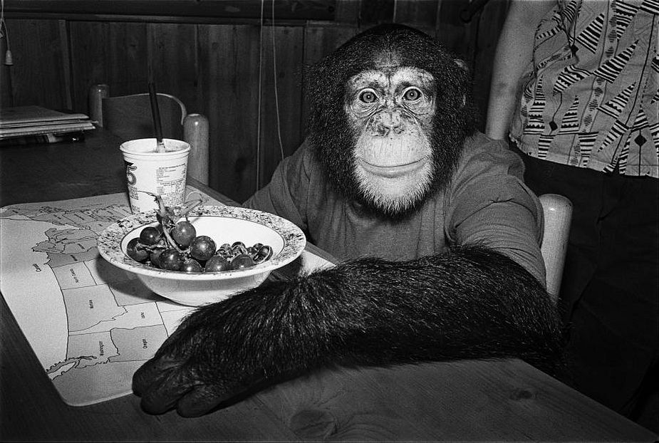 Robin Schwartz, Charlie, 1988, Chimpanzee, female, 5 years old, Copyright Robin Schwartz