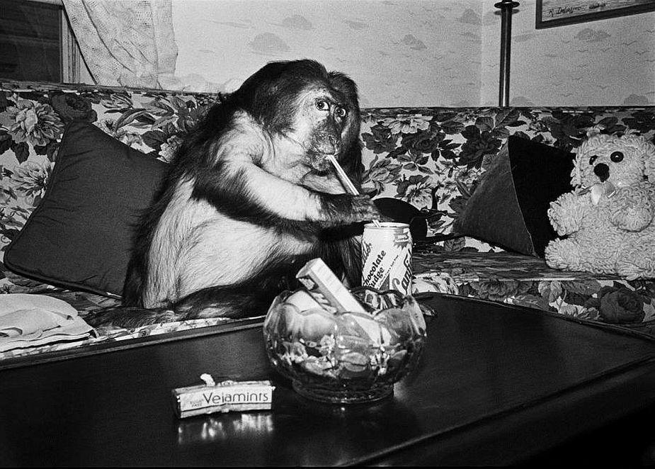 Robin Schwartz, Minnie, 1989, Stump-tailed macaque, female, 13 years old, © Robin Schwartz