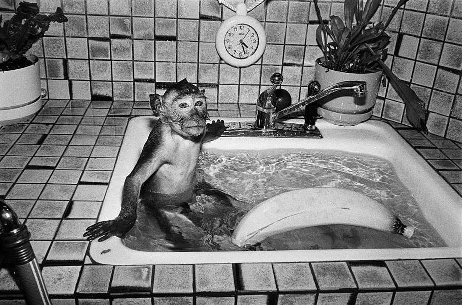 Robin Schwartz, Shibu, 1989, Crab-eating macaque, male, 18 months old, Copyright Robin Schwartz