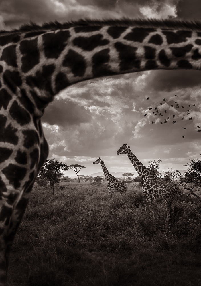 Wildlife-Animals 3RD PLACE WINNER (professional) 3RD PLACE WINNER Eric ISSELEE, Look through the giraffe