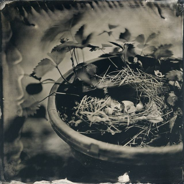 Frank Hamrick (Ruston, LA) Bird's Nest, 2016, from the series Harder than Writing a Good Haiku, tintype, Frank Hamrick