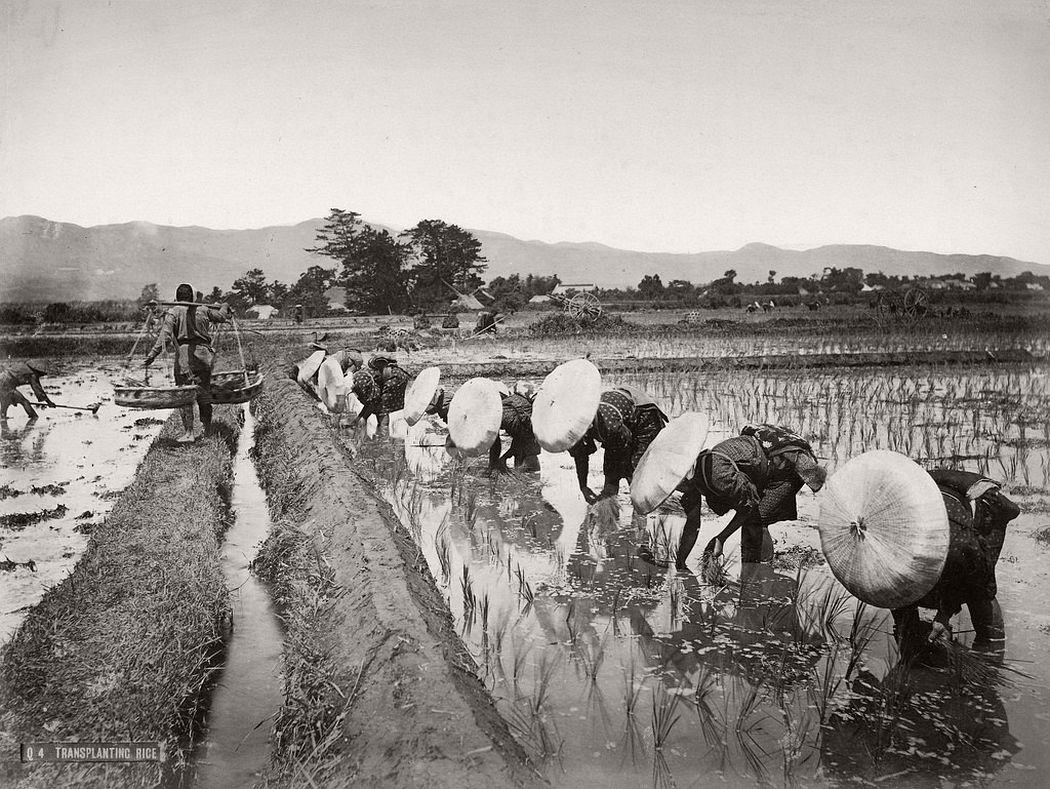 Transplanting rice, ca. 1880