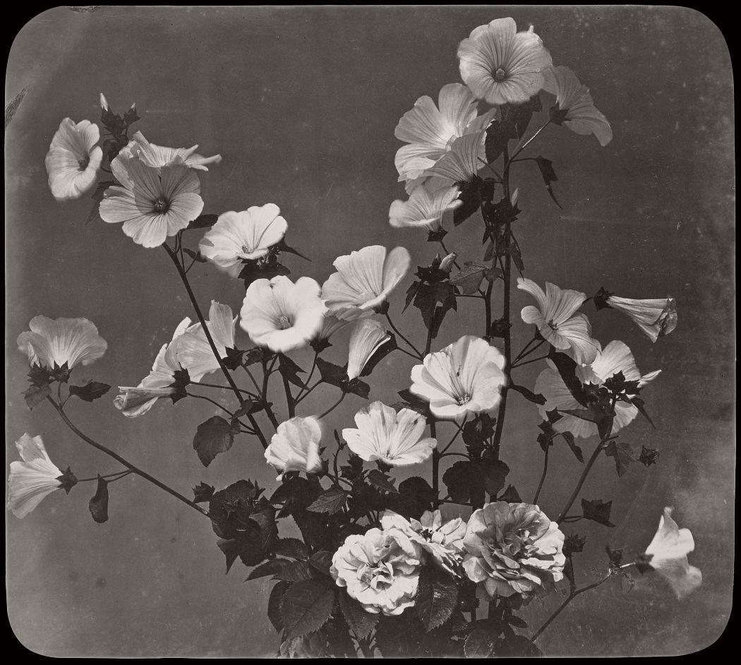 Flower Study, Rose of Sharon, 1854.