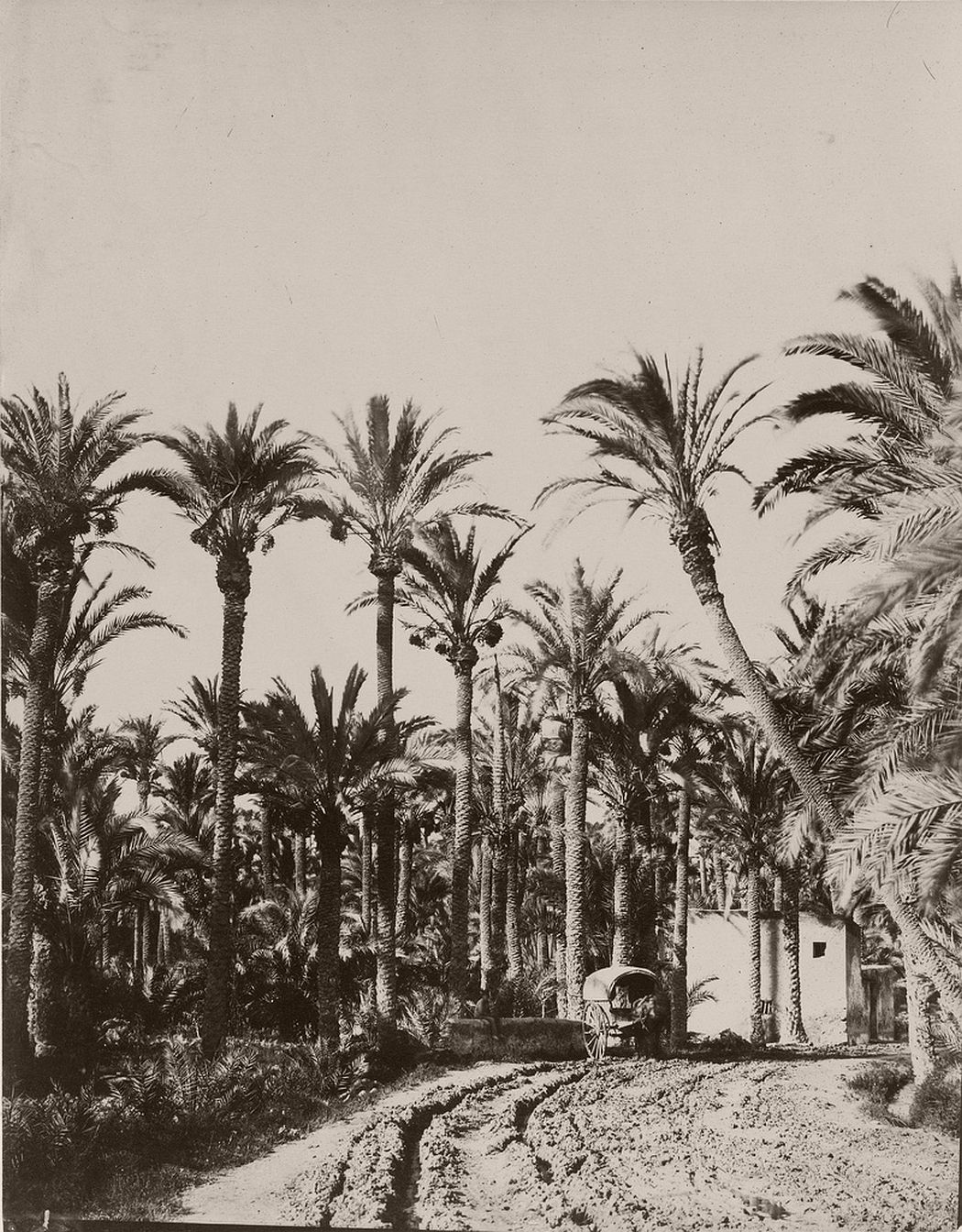 Elche palm trees, 1862