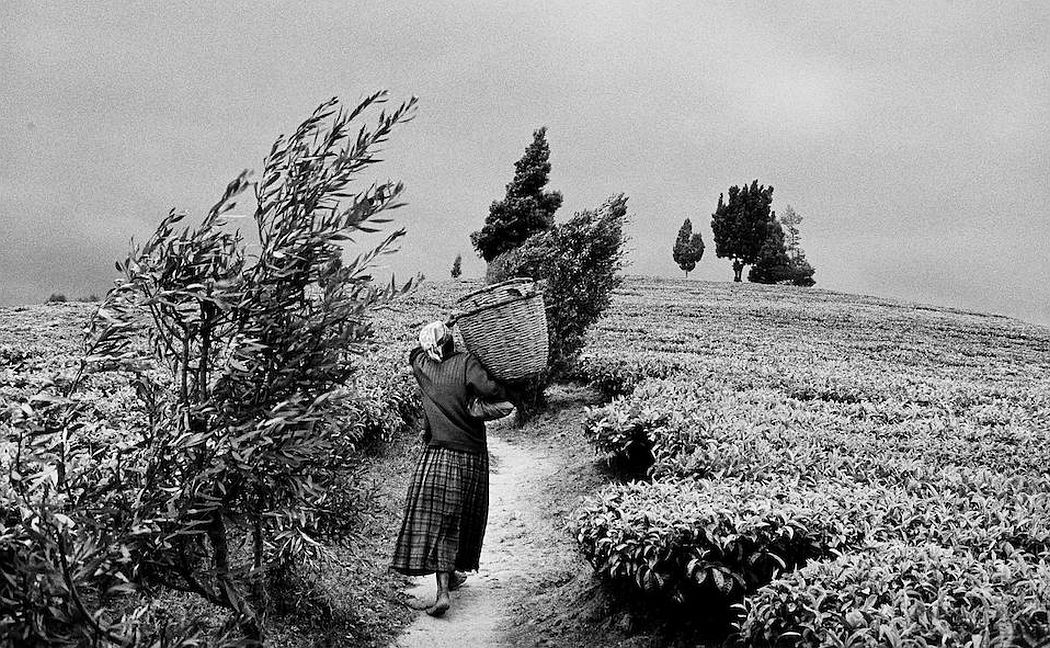 In the hills of Moko at the Gisovo tea plantation, Rwanda 1991