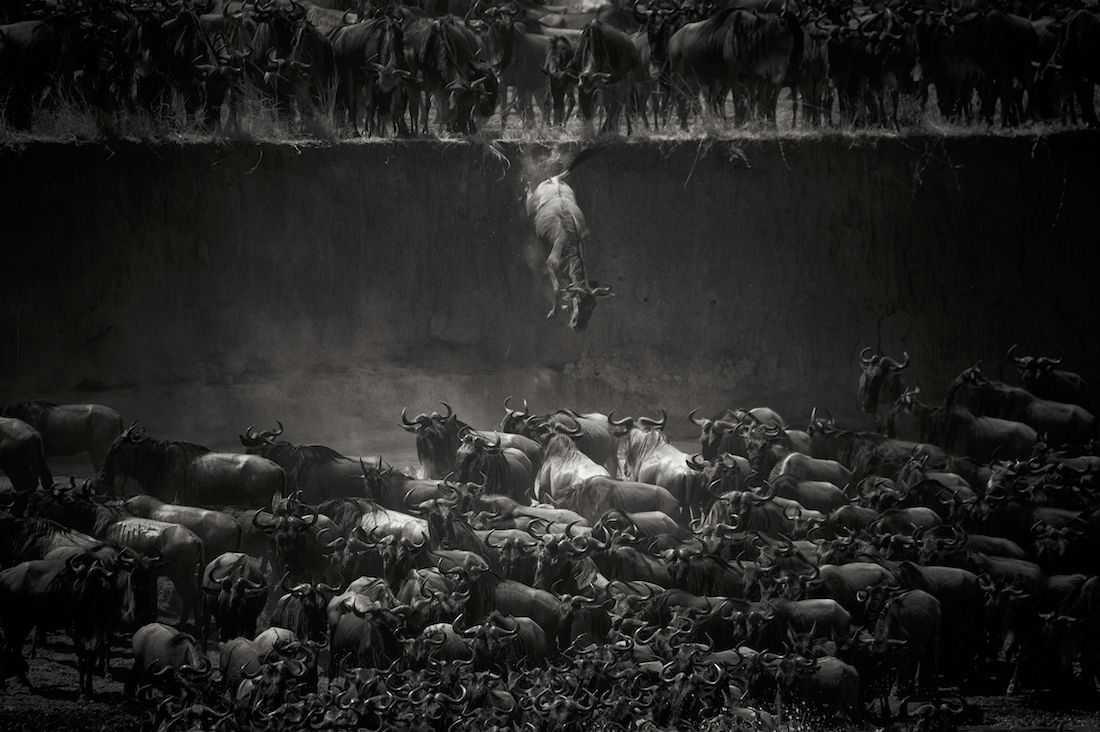 Nicole Cambre: Leap of Faith (Jump of the Wildebeest) / 1st Place in Nature and Wildlife (Single)