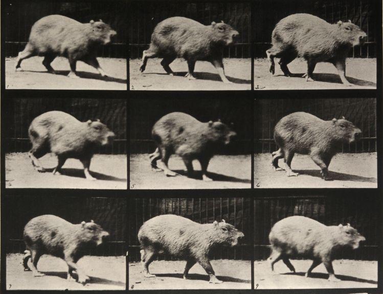 Eadweard Muybridge: Animal Locomotion
