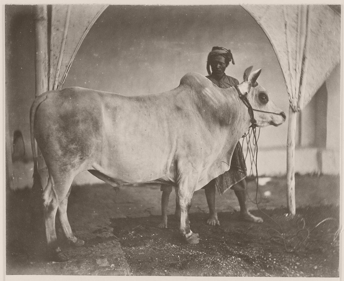 Taurus in Bali, circa 1870.