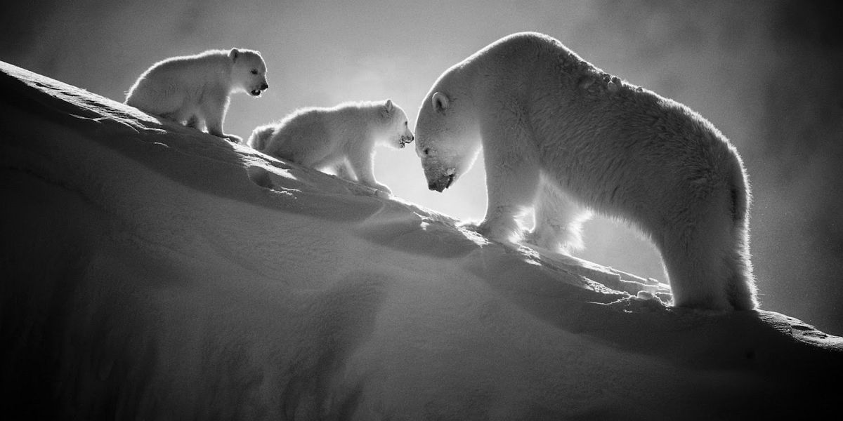 Polar bear with cubs, Baffin Island Canada 2016 © Laurent Baheux